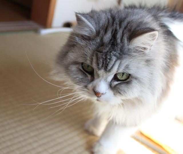 猫のパール